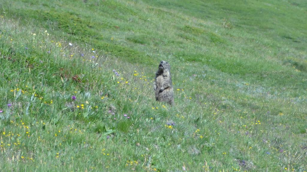 Les marmottes montent la garde, gare à celui qui s'écarterait du chemin !
